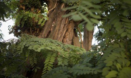 (VIDEO)Kraljevsko drvo, najstarije u Parizu