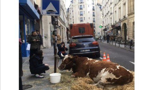 Pariz: Vezana krava na trotoaru ispred jednog restorana izazvala gnev