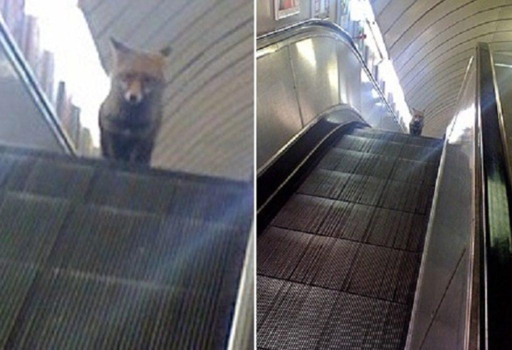 Pariz : NEVEROVATNO. Lisica na šinama u metro-u izazvala veliki zastoj ove linije