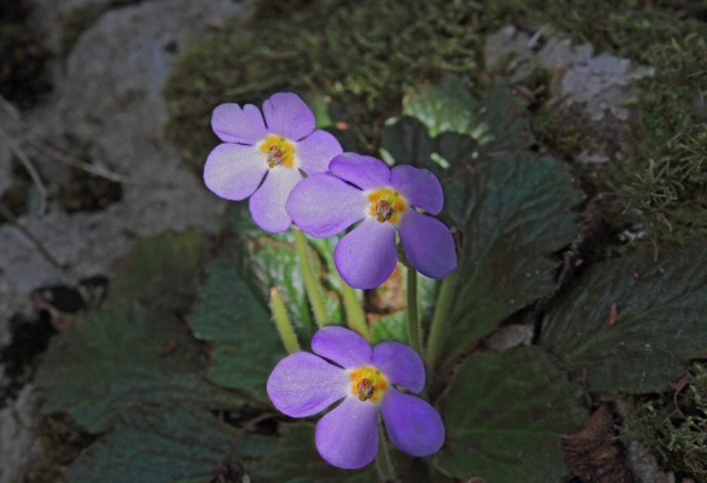 Ramonda Serbica («fleur phénix»), une plante endémique que l'on ne trouve qu'en Serbie.