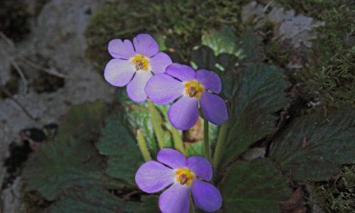 """Ramonda Serbica (""""fleur phénix""""), une plante endémique que l'on ne trouve qu'en Serbie."""