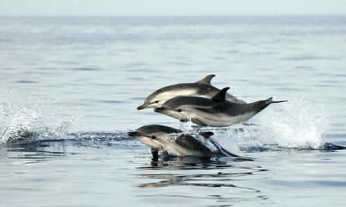 (VIDEO)Prelepa slika delfina uz samu obalu. Kada priroda preuzme stvar u svoje ruke