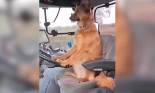 (VIDEO)Samo u Srbiji. Pas vozi traktor
