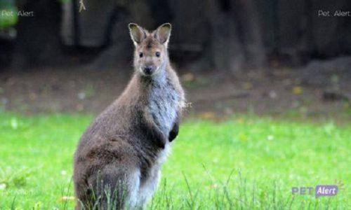 (VIDEO)Francuska: Pobegao mali kengur. Vlasnica moli za pomoć